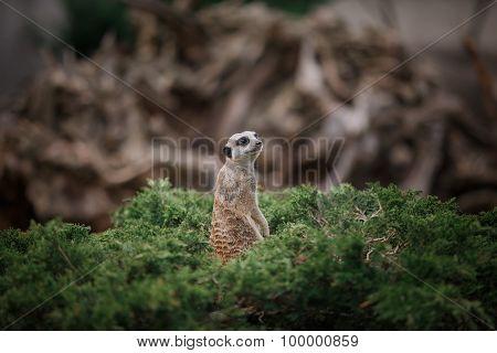 Meerkat Standing On The Stone