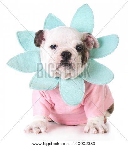 female bulldog puppy dressed in flower costume on white background