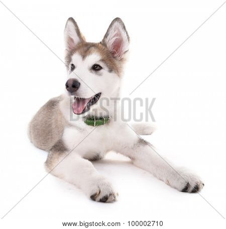 Cute Malamute puppy lying isolated on white