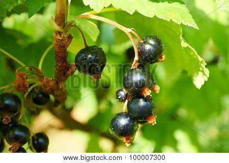 Ripe Black Currants On Branch