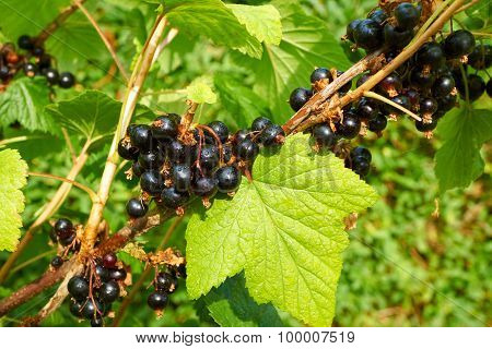 Branch Full With Black Ripe Currants