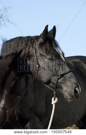 Portrait of a beautiful black Horse