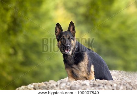 German shepard dog sitting outside under tree