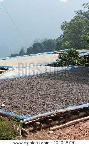 Drying Coffee Beans At Plantation On Pha Hi Mountrain, Chiangrai Thailand