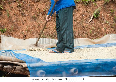 Coffee Farmer Drying Coffee Beans At Plantation On Pha Hi Mountrain, Chiangrai Thailand