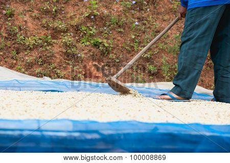 Coffee Farmer Drying Coffee Beans At Plantation On Pha Hi Mountrain, Chiangrai Thailand