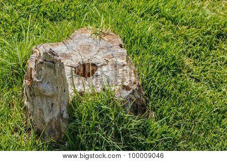 Old Stump Tree Plant On Green Grass Field.