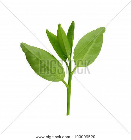 Fresh Green Leafs Of Young Plant Isolated On White.