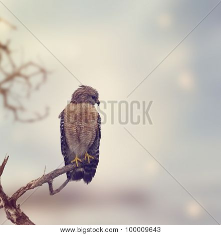 Red Shouldered Hawk Perches on a Log