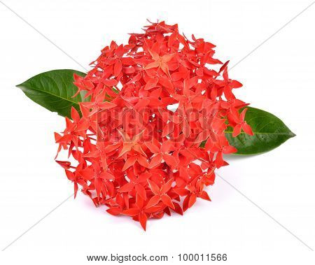 Red Ixora Over White Background