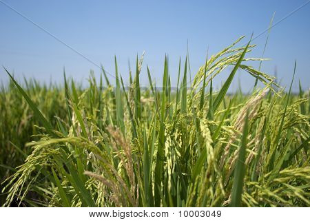 Paddy rice in field with blue sky
