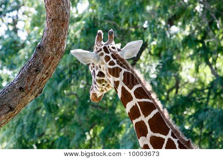Giraffe looking away