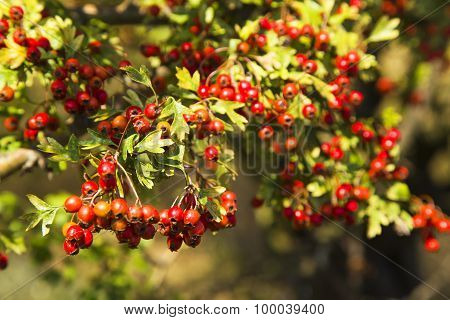 Beautiful tree with red berries