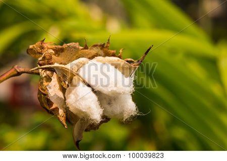 White Cotton Flower.