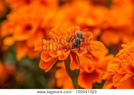Orange tagetes flowers and Bee