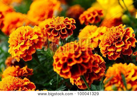 Tagetes flowers summer sunlight