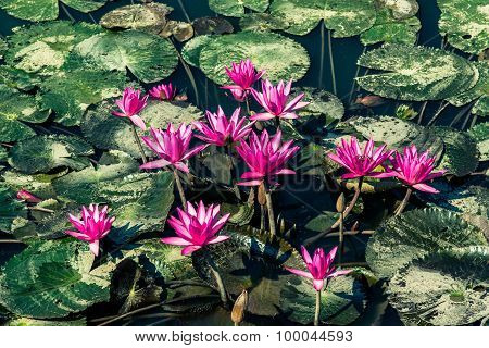 Vintage Style Group Of Lotus In The Pond With Mud Leaf
