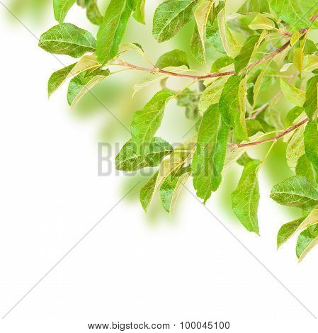 Apple Tree Branch With Leaves