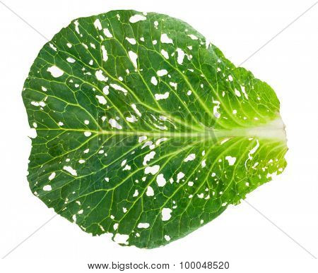 Holey cabbage leaf