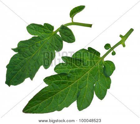 Tomato leafs
