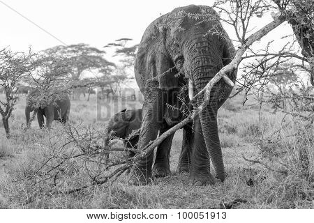 African Elephant In Serengeti National Park