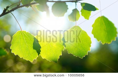 Green Leafes In Sunny Day
