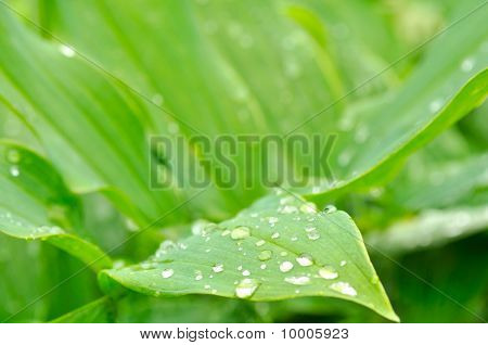 Dew Drops on Green Leaves