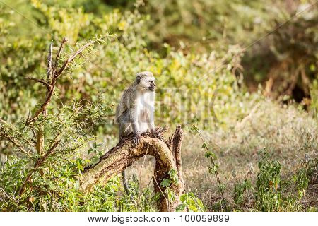 Chlorocebus Pygerythrus, Vervet Monkey In Serengeti National Park, Tanzania