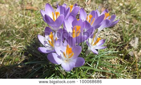 Crocuses in the Sunlight