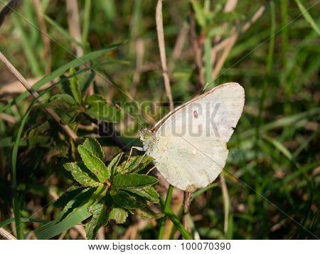 Rape Butterfly (Pieris napi)
