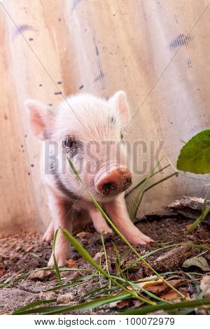 Close-up Of A Cute Muddy Piglet Running Around Outdoors On The Farm
