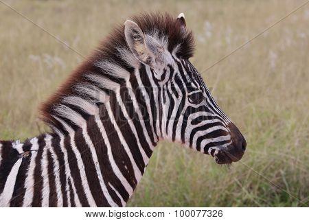 Wild Baby Zebra