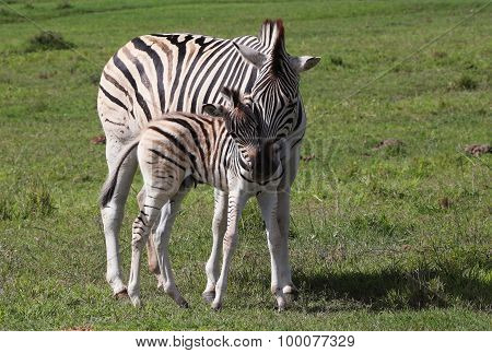 Mom and Baby Zebras