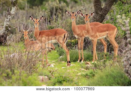 Wild African Female Impala