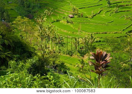 Rice terraces of the volcano Agung.