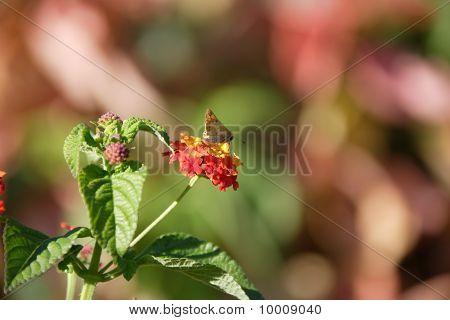 flower moth on Verbenaceaeflower