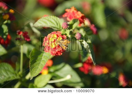 flower moth on Verbenaceaeflower 2