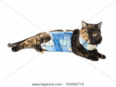 Cat tortoiseshell color after operation sterilization isolated on white background poster