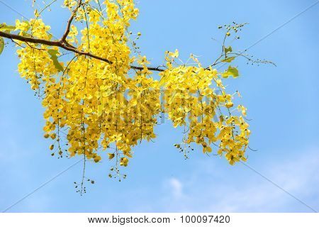 Purging Cassia On Blue Sky