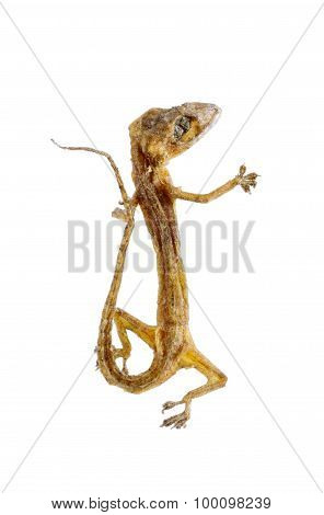 Dried House Lizard - Gecko Isolated On White Background