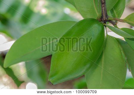Fresh Garcinia Sour Flavor Lots Of Vitamin C The Tropical Thai Herb