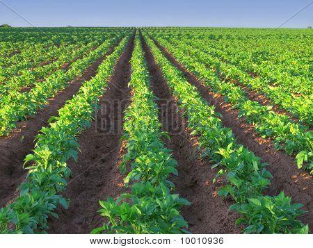 Aardappel Farm