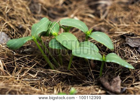 The young shoots of cucumber in the stage of cotyledon leaves poster