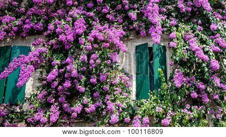 Bougainvillea Flowers At Sirmione Lake Garda Italy,