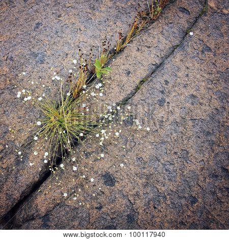 Wild Flowers Growing In The Crack Of Volcanic Rock.
