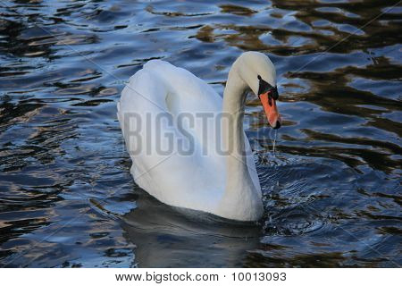 Swan Swimming in the Water