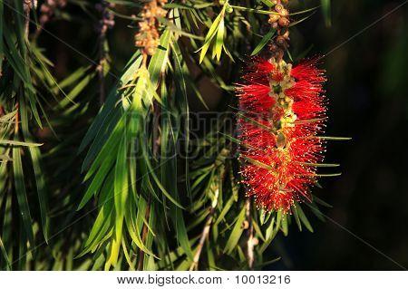 Bottlebrush Leaves And  Flower