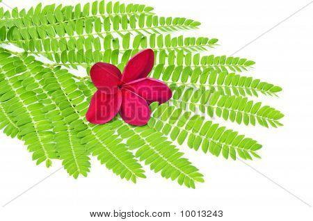Red Frangipani on green leaf