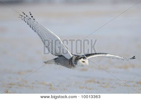 Winter White Snowy Owl In Flight