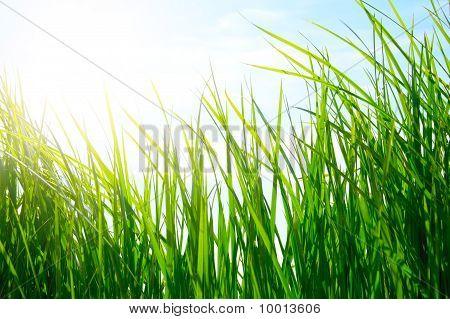 Green Grass On Golden Meadow